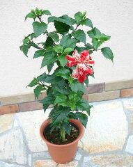 アメリカ国旗を思わせる!赤と白の絞り模様の花弁アメリカンフラッグ ハイビスカス 1鉢7号