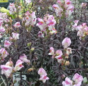 キンギョソウ ブロンズ ドラゴン イングリッシュ ガーデン ガーデニング Antirrhinum