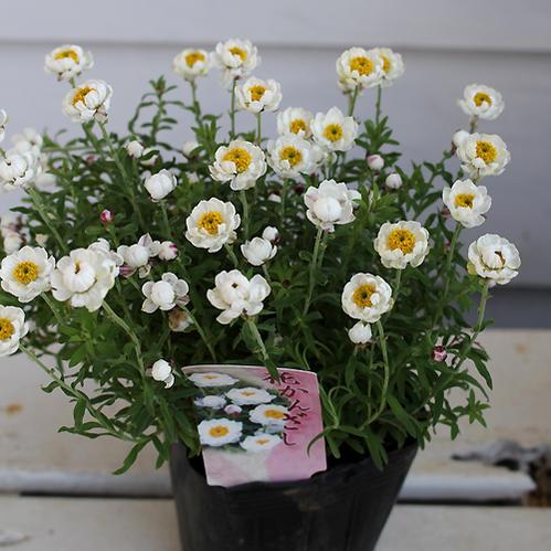 花苗 はなかんざし 1鉢 Helipterum rosem 3.5号 【お届け中】 花かんざし ハナカンザシ 花苗 ガーデン苗 寄せ植え