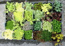グランドカバー 多肉植物 ガーデニング 園芸 寄植え セダム・ステップストーン 色とりどりの...