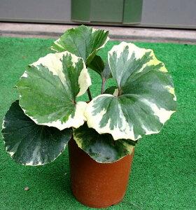 シェイドガーデンに!カラーリーフとして欧米でも人気♪ 和の植物 ツワブキ 浮雲錦 Farfugi...