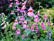 レーマニア エラータ イングリッシュ ガーデン ガーデニング