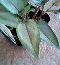 欧米でもカラーリーフとして根強い人気!!ペリシカリア シルバードラゴン 1鉢Persicaria micr...