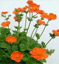 コンパクトで花数は多いです【イングリッシュガーデンに使える宿根草】 ゲウム クッキー 1鉢...
