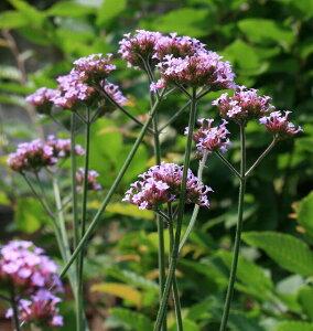 夏場に伸びる穂先には沢山の小花が咲く。【イングリッシュガーデンに使える宿根草】三尺バーベ...