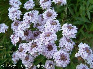 【宿根草】【イングリッシュガーデン】バーベナ ギリア ポラリス 1鉢Verbena rigida Polaris...