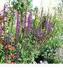 人気の品種少し入荷♪サルビアネオローサカラドンナ1鉢Salvianemorosa'Caradonna'