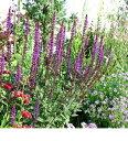 人気の品種♪花穂がパープルになりお庭での存在感が見事!【宿根草】【イングリッシュガーデン...