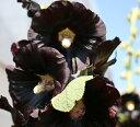 花色はブラック(濃い紫色)の一重咲きです。【イングリッシュガーデンに使える宿根草】 【鉢植...