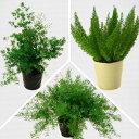観葉植物 アスパラガス 3種よりセレクト 5号 お取り寄せ商...