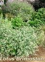 【イングリッシュガーデン】【カラーリーフ】【寄せ植え】 【花壇】ロータス ブリムストーン 1...