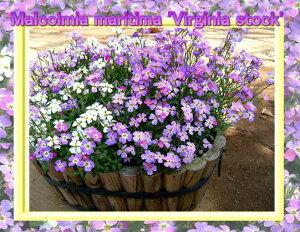 バージニアストック 1鉢3.5号【お届け2月中旬〜春苗先行予約】Virginias srock…