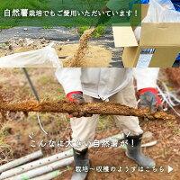 さつま竹源作_自然薯栽培