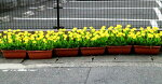 菜の花造花【菜の花プランター】【送料無料】