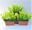 フェイクグリーン 人工観葉植物 【ナノハナプランター3点セット】【まとめてお買い得】【造花】大量発注可能です 春装飾