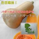野菜苗かぼちゃ苗(バターナッツ)メール便対応は出来ません。