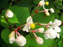 日陰におすすめの宿根草!「白花シュウカイドウ」9センチポット...