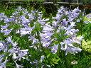 夏の花!ひなた向き宿根草「アガパンサス青花 10・5cmポット苗」
