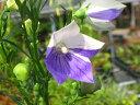 日向向き宿根草「絞り咲きキキョウ  12cmポット苗」