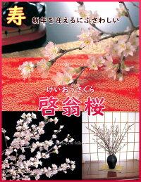 さくら【送料無料】お正月に咲く桜・山形【啓翁桜(けいおうさくら)】約9本80cm/本