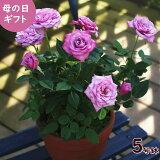 母の日ギフト送料無料鉢バラブルーオベーションメッセージカード付早割花ギフトプレゼント鉢植え鉢鉢植珍しい鉢花