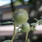 山野草:オヤマボクチ ポット苗