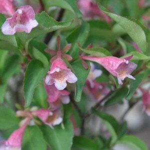 山野草:赤花ツクバネウツギ