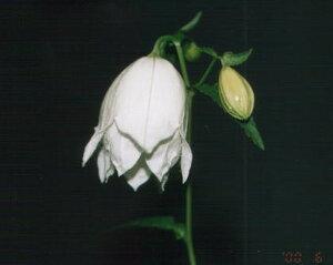 山野草 宿根草 苗 鉢花 鉢植え 販売山野草の花苗/純白ホタルブクロ(白馬)