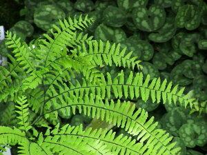 日本の四季を彩る山野草、宿根草、貴重な植物をお届けします。クジャクシダ