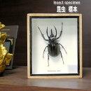 【送料無料】昆虫の標本ゴホンヅノカブトムシEupatorusgracilicornis
