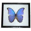 【あす楽】【送料無料】昆虫の標本ディディウスモルフォdidiusbluemorpho世界一美しい蝶