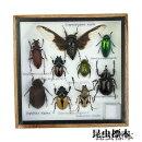 【宅配便送料無料】昆虫の標本世界のクワガタなど6,7匹(小)【あす楽】