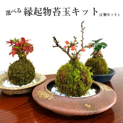 苔 苔玉 キット 敬老の日 【 選べる縁起物苔玉キット (2個セット) 】