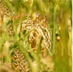 発送開始です!【頑張って送料無料!】【6回継続注文限定】29年産田辺さん家の新潟県産コシヒカリ100%白米、無洗米お選びください有機質肥料100%栽培・低減農薬 コシヒカリ5kg×6回今年はボカシ肥料で美味しさパワーアップ!