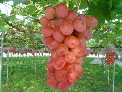 新潟の豊かな自然は美味しい果実も育てました発送当日の朝もぎたて!だから鮮度が違う!早期予...