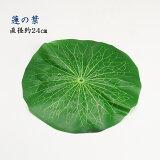 蓮の葉(直径約21cm)