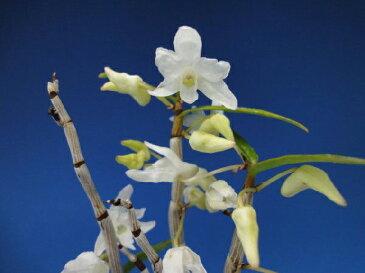 【石斛花物(セッコク)】白鷺(しらさぎ)/5〜6条