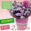 ピンクのカーネーション【バンビーノ】