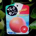 【果樹苗】ブラッドオレンジ【苗木】2年生根巻き苗【柑橘類】【RCP】