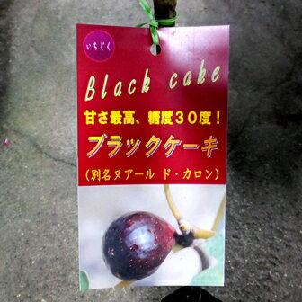 【果樹苗】いちじく【ブラックケーキ】【苗木】(別名:ヌアール・ド・カロン)【落葉果樹】根巻き苗