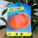 【果樹苗】清見オレンジ(オレンジ)【苗木】1年生根巻き苗【柑橘類】【RCP】