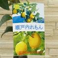 【果樹苗】瀬戸内れもん(道谷系ビアフランカ)【レモン苗木】