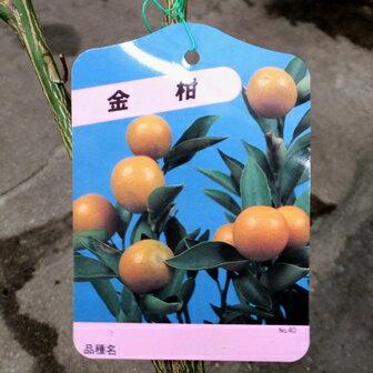 たまたま(金柑)【苗木】2年生根巻き苗