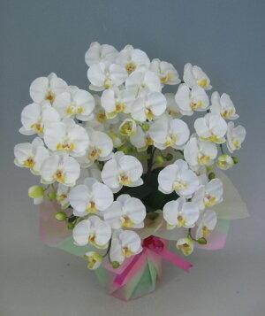 光触媒造花胡蝶蘭5本立ち大輪白M