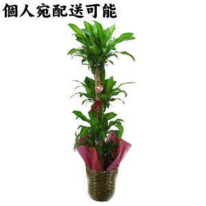 【個人宛配送可能】観葉植物ドラセナマッサンゲアナ(幸福の木)10号鉢(尺鉢)ブラウンバスケット高さ170cm
