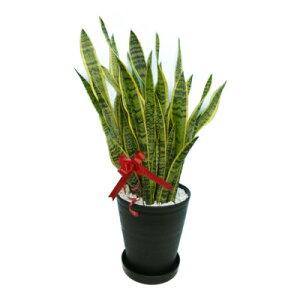 サンセベリア10号鉢黒丸鉢受け皿付きセラアート鉢白石マルチング観葉植物