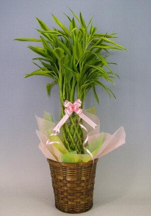 観葉植物ドラセナサンデリアーナライム(幸運の竹・ラッキーバンブー)7号鉢かご・受け皿付き