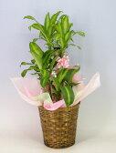 ドラセナ マッサンゲアナ(幸福の木)7号鉢 かご・受け皿付き【観葉植物】【あす楽対応】