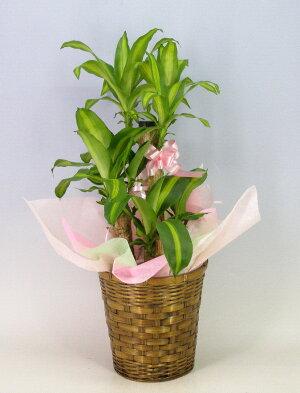 【背が低いです65cm】観葉植物幸福の木ドラセナフレグランスマッサンゲアナ7号鉢茶かご受け皿付きブラウンバスケット高さ65cm程度小型中型インテリアグリーンギフト