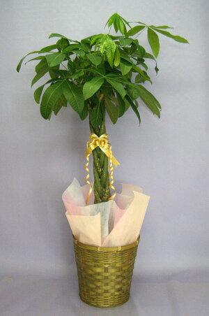 観葉植物パキラ発財樹8号鉢茶かご受け皿付きブラウンバスケット高さ90〜120cm程度中型大型インテリアグリーンギフト寒さに強い